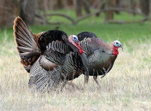 turkey500